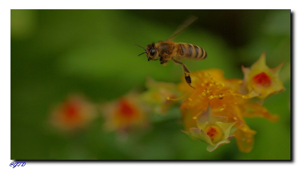 Biene auf Honigjagd