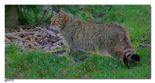 Maerz 2015 - Wildkatze